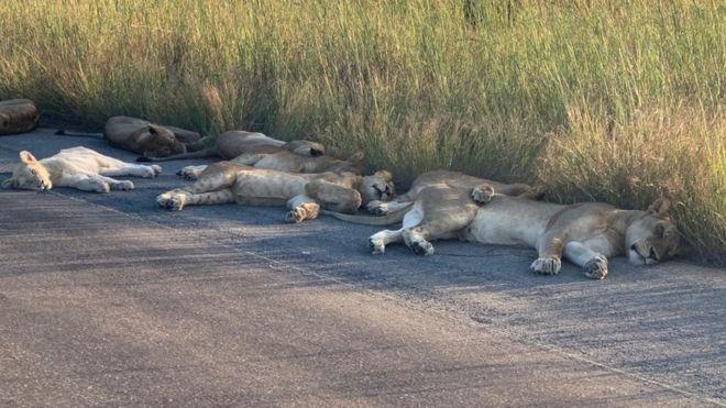 Singa tidur siang di jalan selama kuncian Afrika Selatan